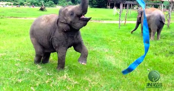 When This Elephant Found A Ribbon, Happiness Exploded EVERYWHERE